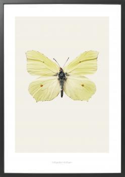 Artprint Hagedornhagen - Fjärilen Ornithoptera 42x59cm